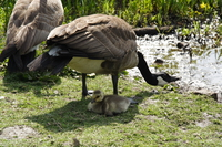 baby goose under the shadow of mommy goose