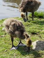 a pair of kiddy geese