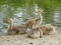 view--lazy ducklings