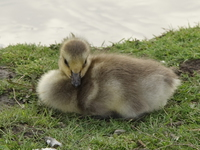 baby goose resting