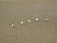 view--snow geese family