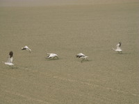 view--flying snow geese