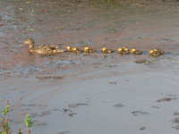line of baby mallard ducklings