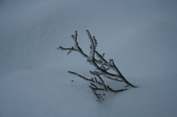 white branch on mount seymour