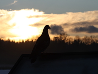 pigeon and sunset