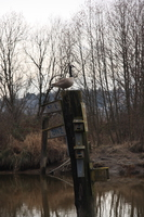 canadian goose stands on bird house