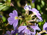 honey bee dancing on purple flower