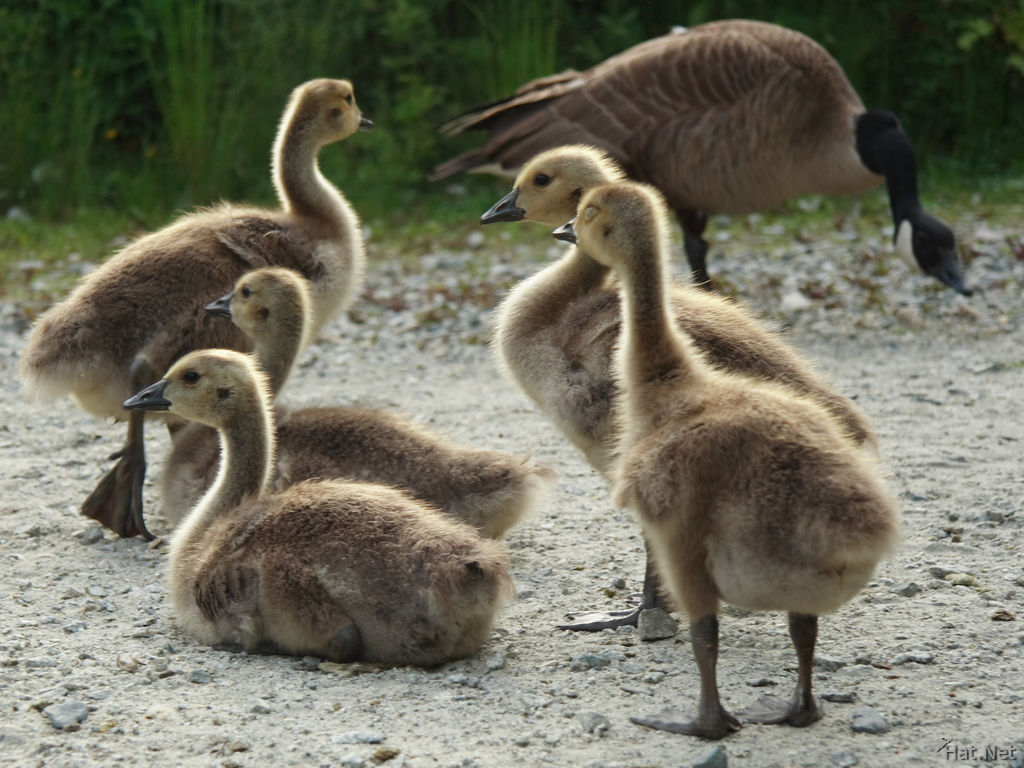 five baby geese in back light